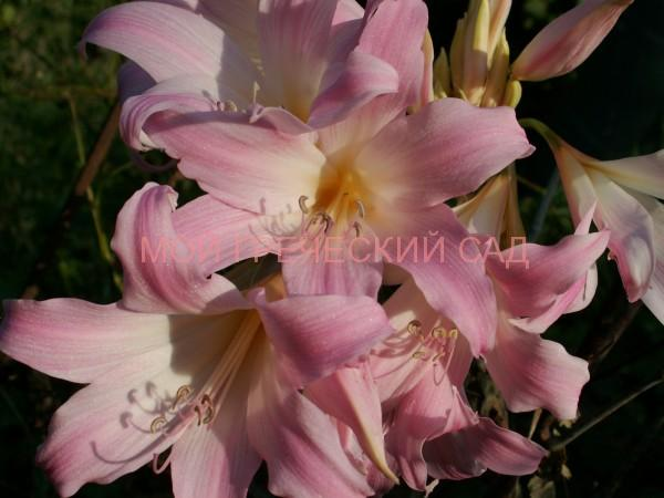Амариллис белладонна в Гречии фото