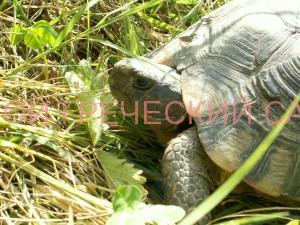 Греческая черепаха фото