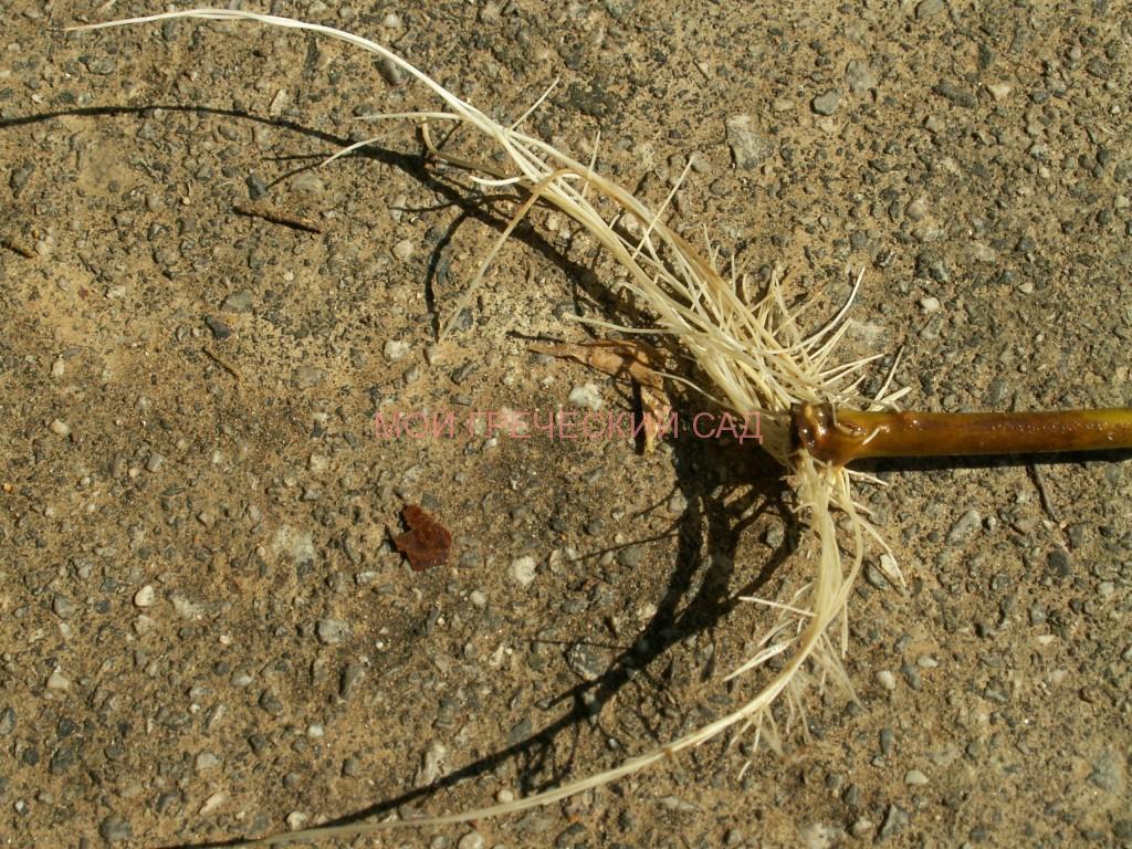 размножение олеандра фото
