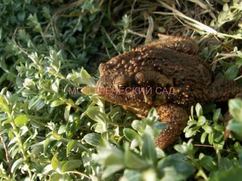 Жаба в саду (Bufo bufo) фото