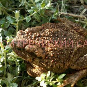 Жаба в саду фото