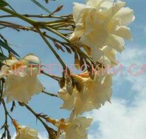 цветение олеандра фото