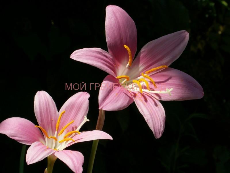 Комнатный цветок выскочка фото