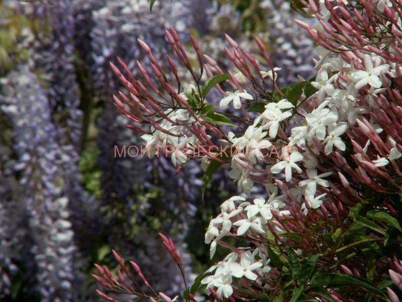 жасмин на фоне цветущей глицинии