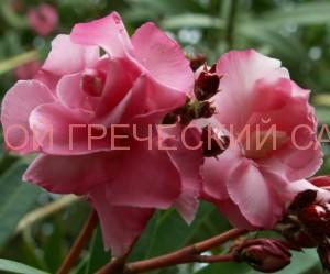 розовый олеандр фото