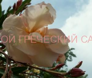 цветок олеандра фото