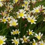 Цветок спараксиса