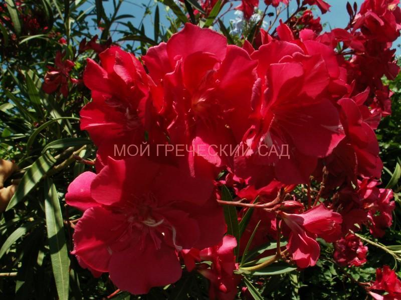 фото цветущего олеандра
