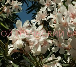 олеандр в цвету фото
