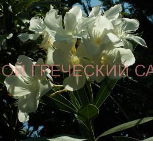 белый олеандр фото