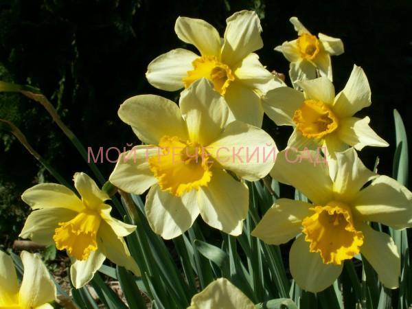 Греческий сад нарциссы фото