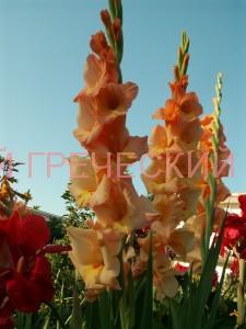 цветы для греческого сада фото