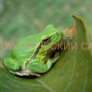 Фото квакши обыкновенной (Hyla arborea)