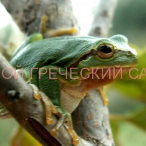 древесная лягушка фото