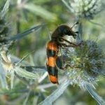 Пчеложук пестряк (Trichodes favarius)
