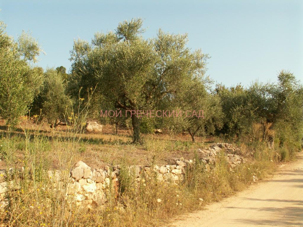 Оливковые рощи по дороге в Полилимнио фото