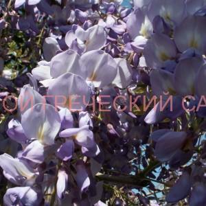 цветки глицинии фото