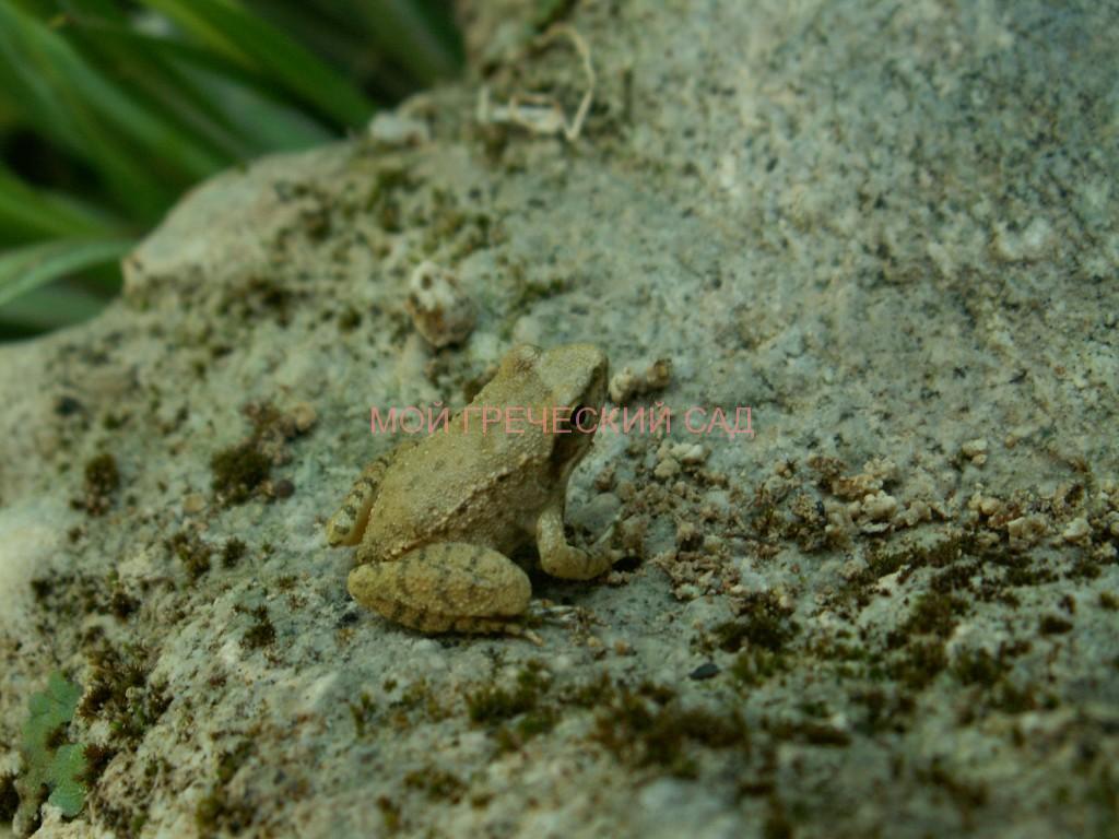 Rana arvalis остромордая или болотная лягушка фото