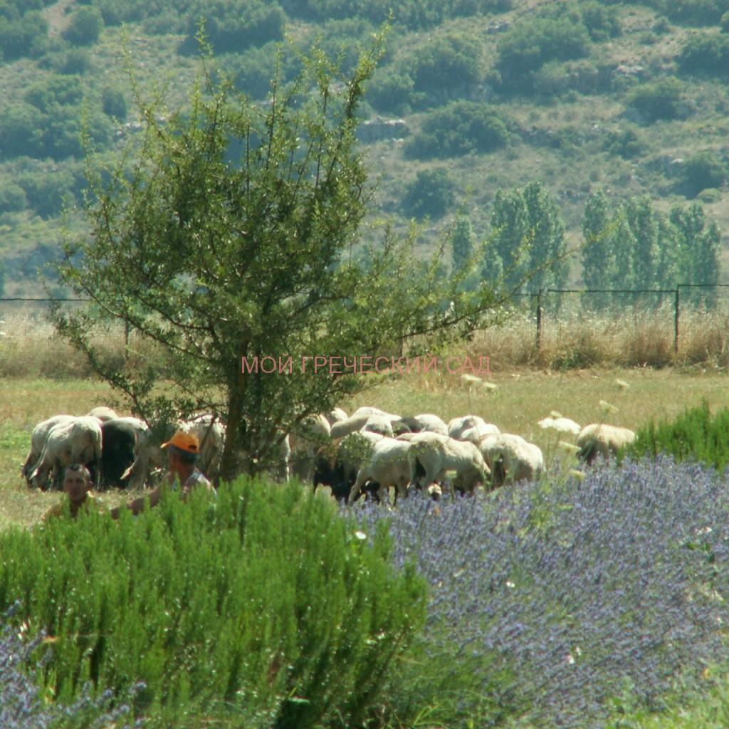 Чем не идиллия? Тишина, цветущая лаванда, овечки, а в тени маленького дерева - современные аркадийские пастухи