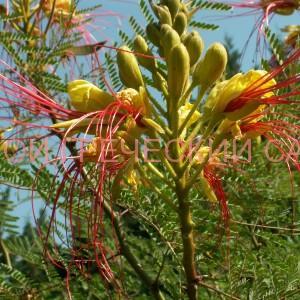 цветок цезальпинии фото