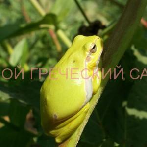 фото древесной лягушки