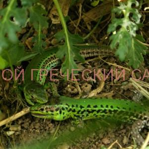 Дерущиеся ящерицы-самцы фото
