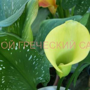 калла новозеландские цветные гибриды фото