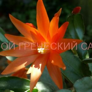 Цветок рипсалидопсиса фото