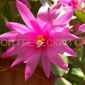 Рипсалидопсис розовый фото