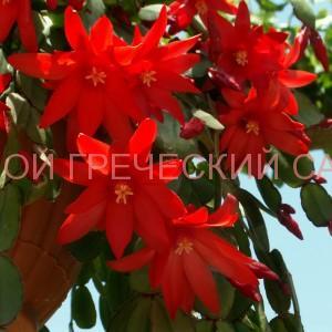 Цветущий рипсалидопсис фото