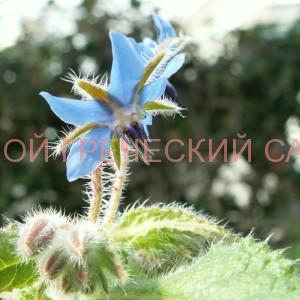 польза огуречной травы фото