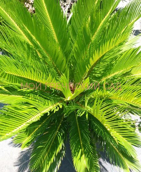 Цикас - реликтовое растение