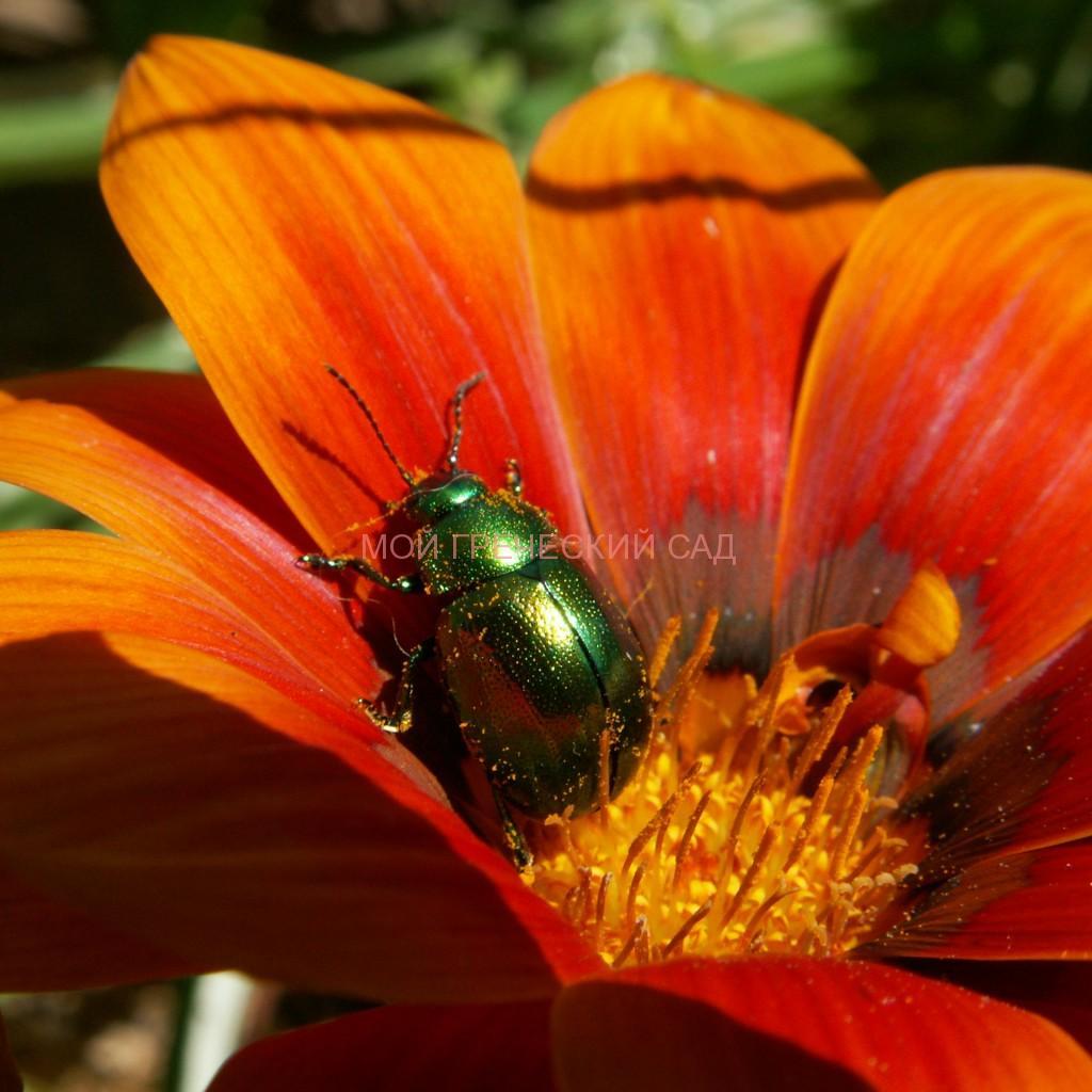 Листоед зелёный мятный (Chrysolina herbacea) фото