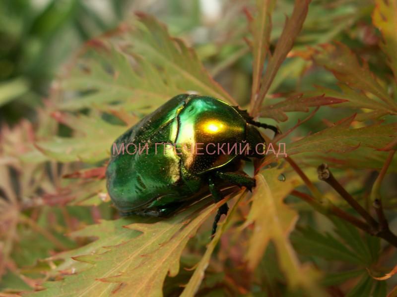 жуки в саду фото