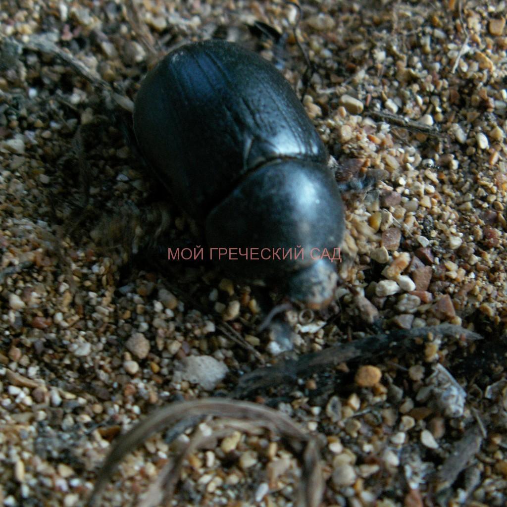 Навозный жук (Geotrupidae) фото