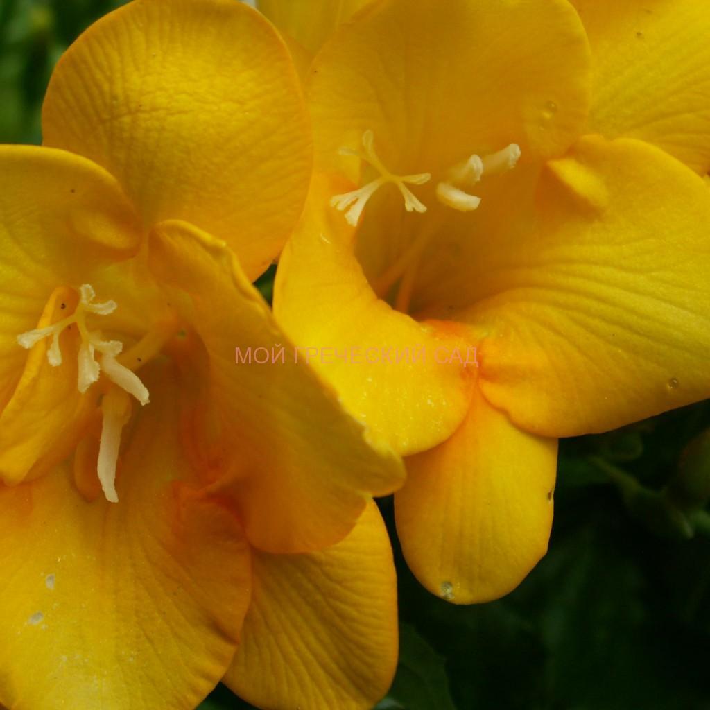 Луковичное растение Фрезия (Freesia) фото