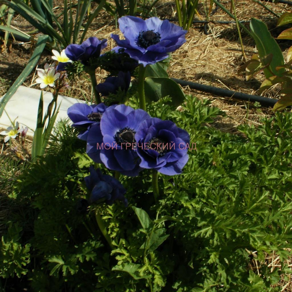 Анемоны (Anemone) в Греции фото