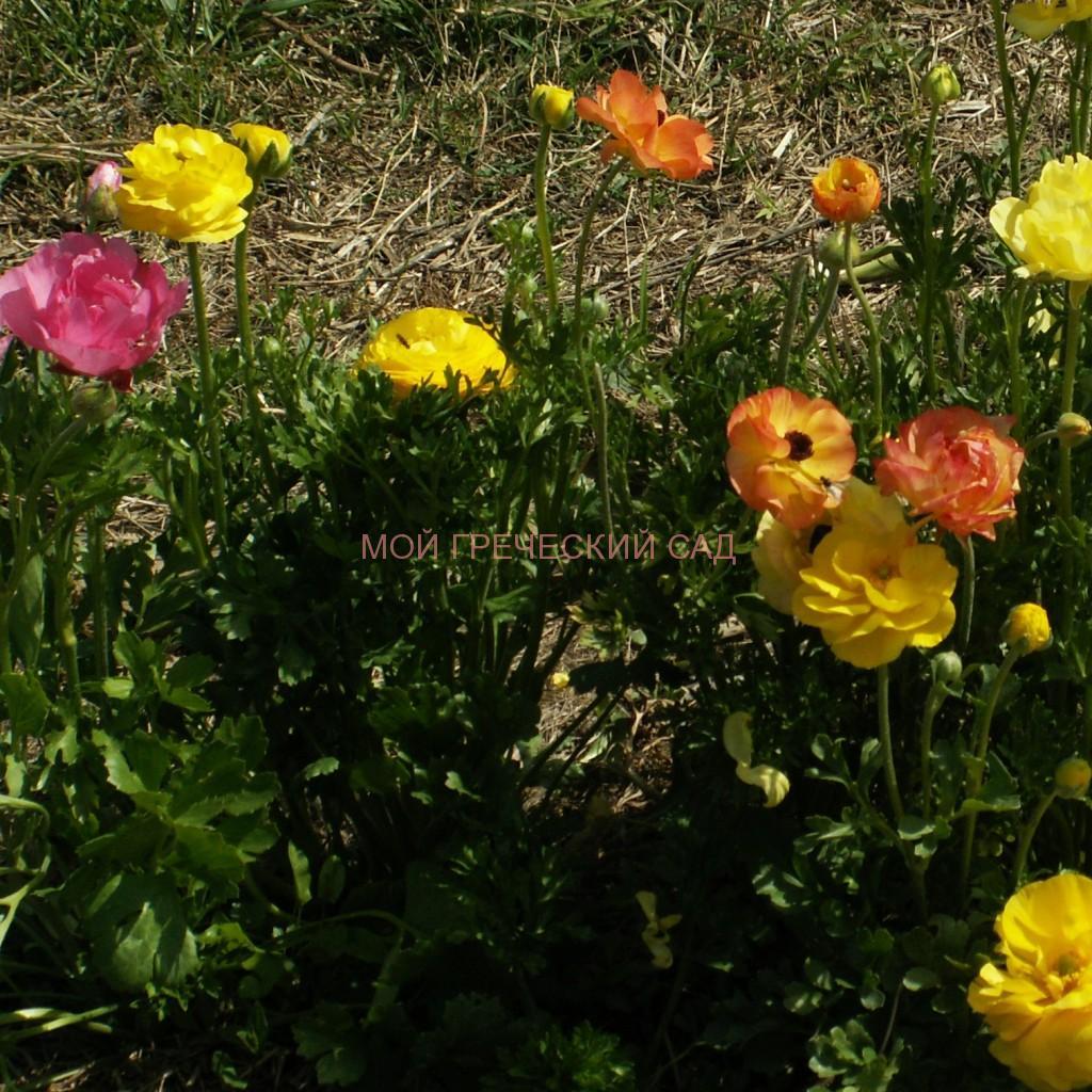 греческий сад Лютики (Ranúnculus) фото