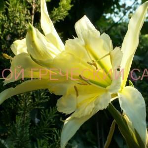 редкие луковичные растения фото