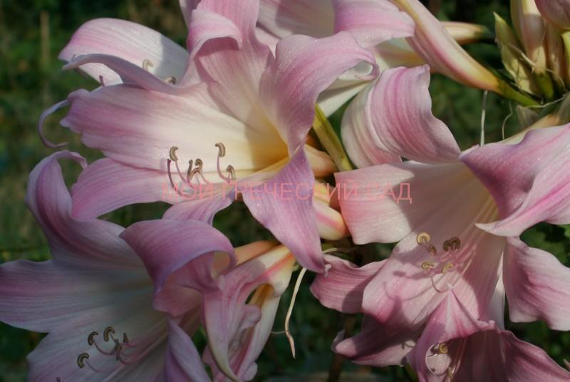 Растения сесейства амариллисовых фото