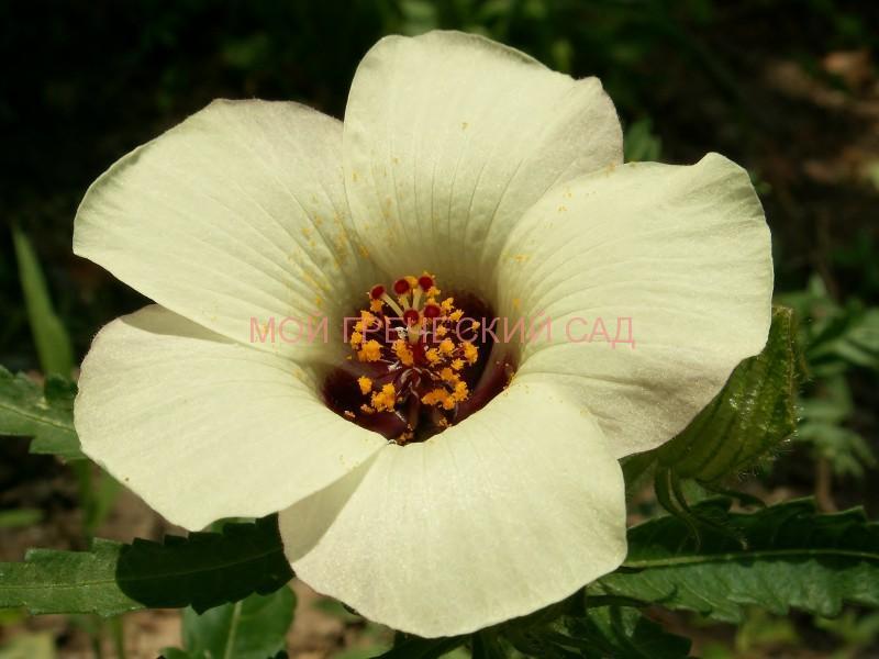 Гибискус тройчатый (Hibiscus trionum L.) фото