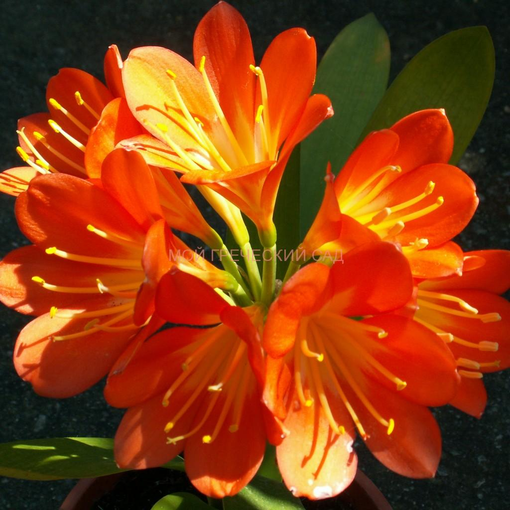растения семейства амариллисовых Кливия (Clivia) фото
