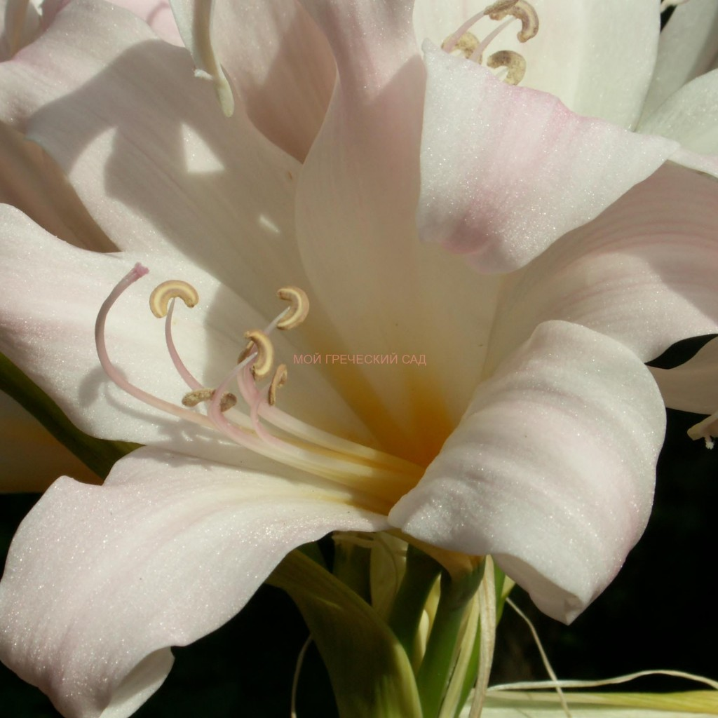 Амариллис прекрасный (Amaryllis belladonna) фото