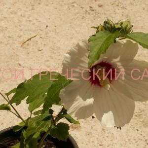 размножение гибискуса сирийского или розы шарона фото