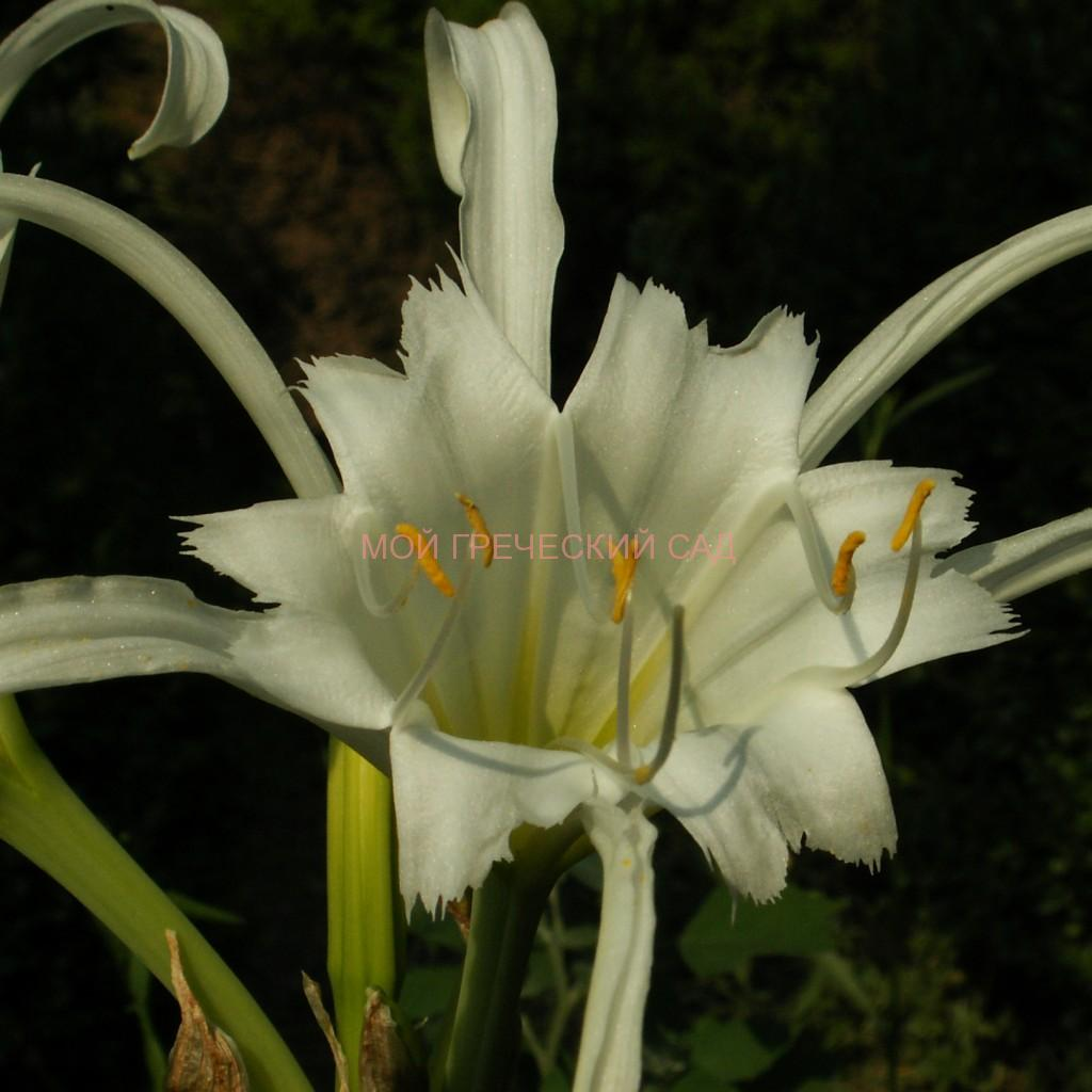 растения семейства амариллисовых Исменэ (Ismene) фото