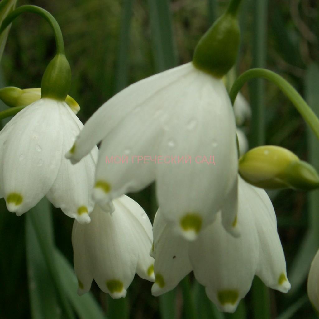 семейство амариллисовых Белоцветник (Leucojum) фото