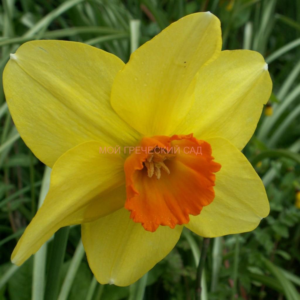 амариллисовые Нарцисс (Narcissus) фото