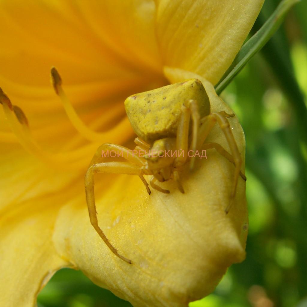 паук-краб изменяет свой цвет фото