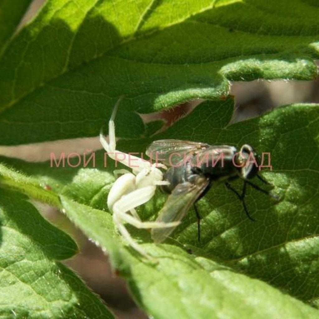 Паук-краб атакует муху фото