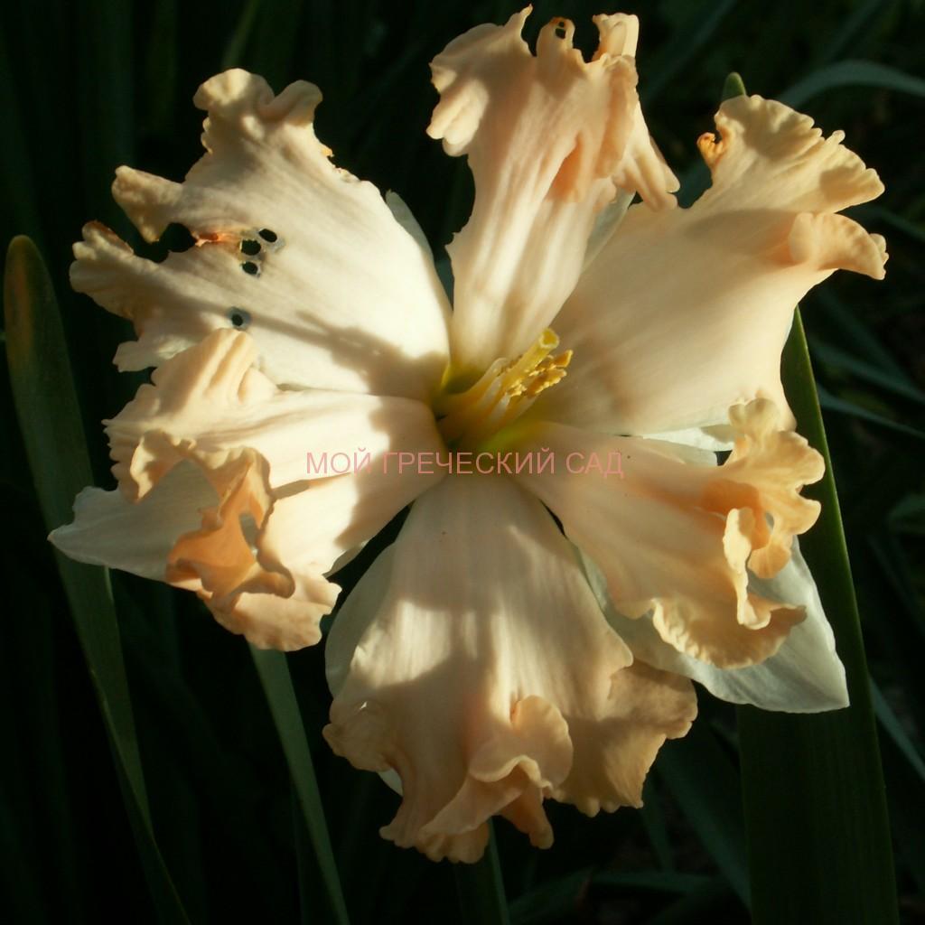 Нарцисс ВАЛЬС Группа сплит-корона narcissus Waltz фото